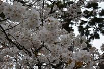 近处美丽樱花