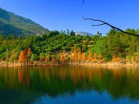 水边上红水杉