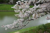 水边绽放的樱花