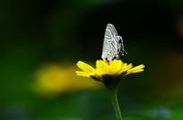 野菊上的蝴蝶