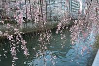 樱花挂满枝头