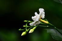 一枝白色小花朵