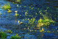 沼泽植被水草
