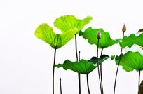 荷花荷叶花骨朵风景图片