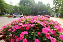 华农路边盛开的鲜花