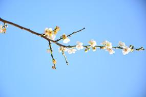 白色梅花高清图