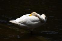 梳理羽毛的白天鹅