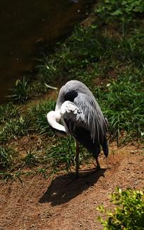 梳理羽毛的灰鹤