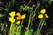 金色的野罂粟