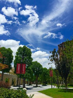 蓝天白云下的香樟树