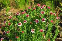 野生植物狼毒花