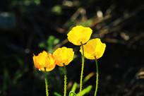 野生植物野罂粟