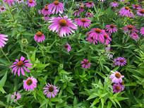 大片紫色松果菊