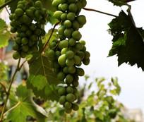 正在生长的葡萄
