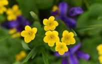 九鼎山上的黄色金莲花