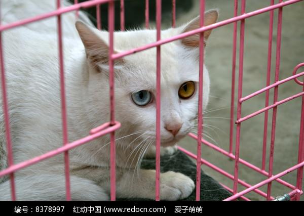一只关在笼子里的泰国御猫图片
