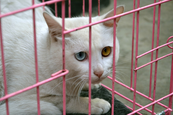 一只关在笼子里的泰国御猫