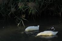 扎进水里吃鱼的鸭子