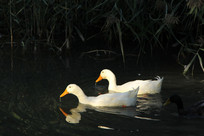 找食吃的一对鸭子夫妇