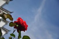 白墙黑瓦配红花