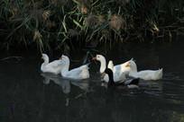 河岸旁觅食的鹅群鸭群
