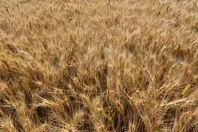 金黄饱满的麦子