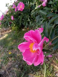 鲜艳的赤芍花图片
