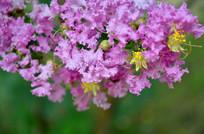 弧形构图紫薇花