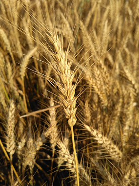 金黄的小麦