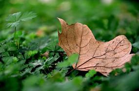 枯萎的树叶
