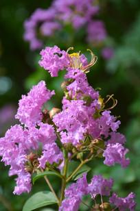 向上的紫薇花
