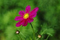 粉色花波斯菊