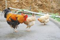 公鸡和母鸡