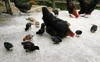 鸡婆带小鸡玩