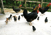 农村的土鸡