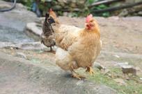 农家养的母鸡