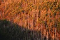 夕照白桦林