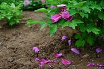 春天牡丹花与落在地上的花