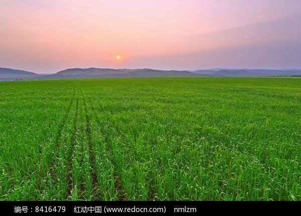 暮色下的绿色麦田 图片
