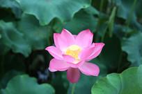 粉色荷花图