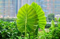 大叶植物叶子特写图片