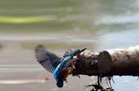 飞翔的翠鸟
