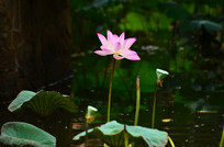 荷花莲蓬风景图片