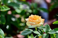 黄玫瑰花卉图片