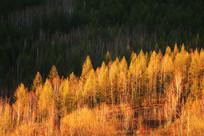 鎏金的树林