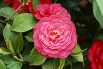 盛开的粉色茶花