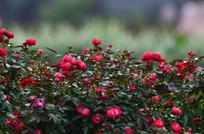 一片玫瑰花丛