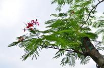 凤凰花树木