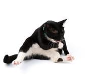 黑色的猫坐在白色背景上舔爪子