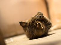 小猫咪在地上打滚